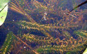 Afbeeldingen van zuurstofplanten - waterpest in vijver - Elodea canadensis