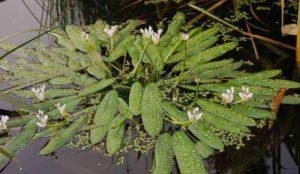 plant voor de vijver