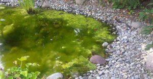 Draadalg vijver biologisch bestrijden