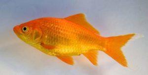 Goudvis: niet de meest geschikte vijvervis