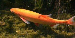 Goudwinde in de vijver: een uitstekende vijvervis