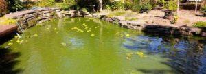 Groene vijver oorzaak zweefalg