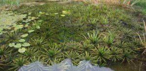 Krabbescheer: zuurstofplant voor de vijver