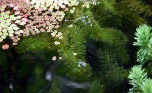 Onderhoud vijver in de zomer: zuurstofplanten