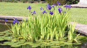 Paarse lis: moerasplant voor de vijver