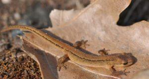 Salamander bij de vijver