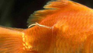 Vis met parasiet (huidworm)