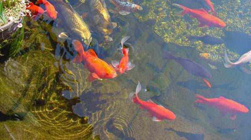 Vissen In Vijver : Vissen schaduwtest vijver vijverhandboek