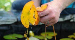 Waterlelie: afgestorven blad verwijderen