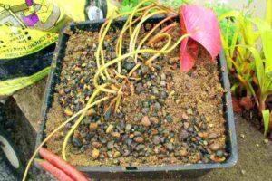 Waterlelie planten: grote plantmand gebruiken