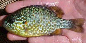 Zonnebaars in de vijver: deze vis is alleen geschikt voor een grote vijver