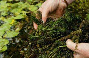 Zuurstofplanten in de vijver snoeien tijdens de zomer