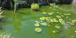 Zweefalg: groen water in de vijver tijdens de zomer